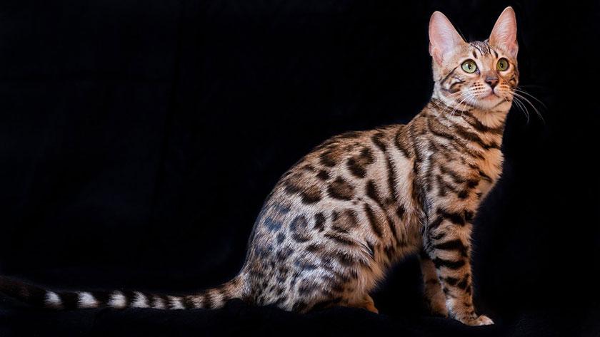 Kucing Bengal Atau Kucing Bengali Atau Kucing Blacan Ras Kucing