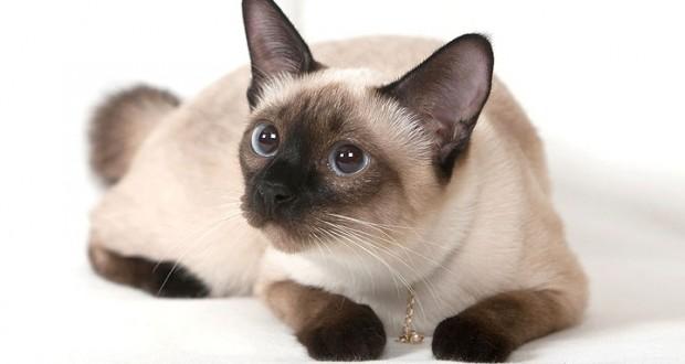Kucing Siamese Ras Kucing