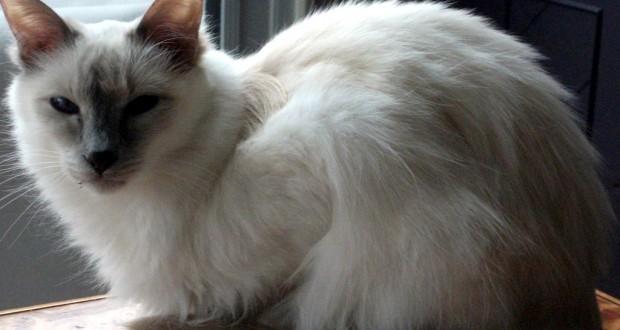 Kucing Balinese Ras Kucing
